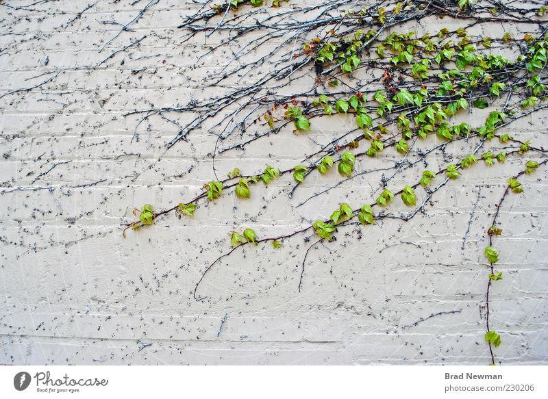 Natur grün Pflanze Wand Umwelt Gebäude Mauer Efeu