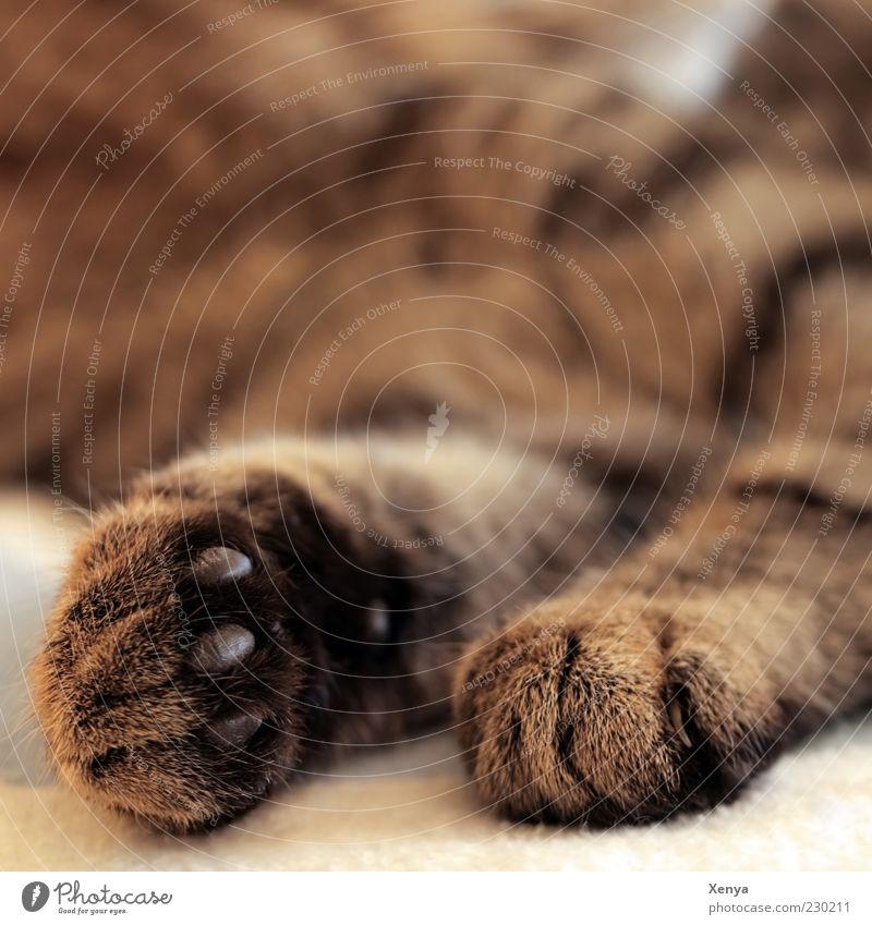 Cappuccinopfötchen Katze ruhig Tier Erholung braun Zufriedenheit liegen schlafen Pause Fell Pfote Haustier kuschlig Geborgenheit ausruhend Halbschlaf