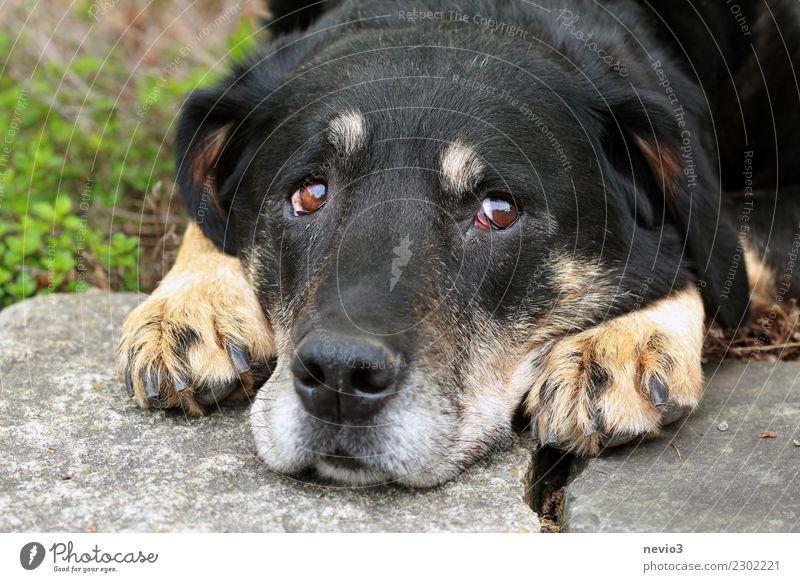 Schlechtes Gewissen Tier Haustier Hund Tiergesicht 1 beobachten liegen klein Neugier niedlich braun schwarz Gefühle Tierliebe gewissenhaft geduldig Erschöpfung
