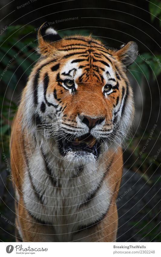 Schließen Sie herauf Porträt des reifen Mannes des sibirischen Tigers Natur Tier Wald Wildtier Tiergesicht Zoo sibirischer Tiger Amur-Tiger Raubkatze Katze 1