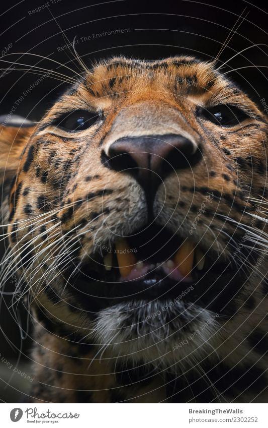 Nahes hohes Porträt des Extrems des persischen Leoparden Natur Tier Wildtier Katze Tiergesicht Zoo Persischer Leopard Kopf Auge Raubkatze 1 wild extrem Schnauze