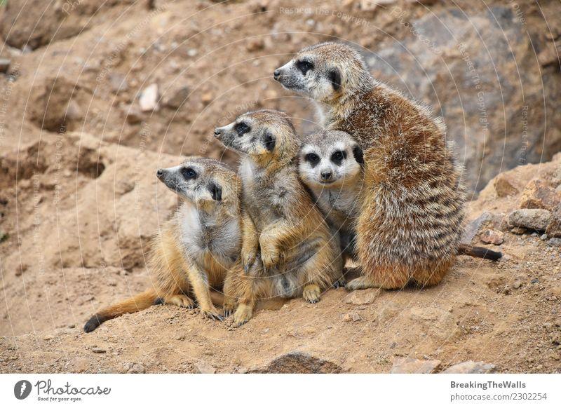 Schließen Sie herauf Porträt der meerkat Familie, die weg schaut Natur Tier Sand Felsen Wildtier Tiergesicht Zoo 4 Tiergruppe Tierjunges Tierfamilie
