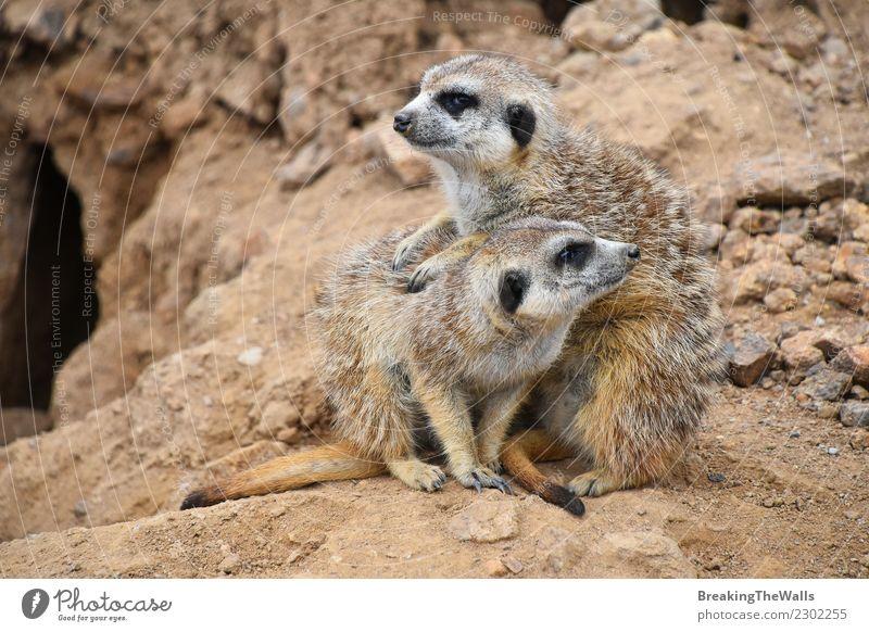 Schließen Sie herauf Porträt der meerkat Familie, die weg schaut Natur Tier Sand Felsen Wildtier 2 Tiergruppe Tierjunges Tierfamilie Zusammensein Erdmännchen