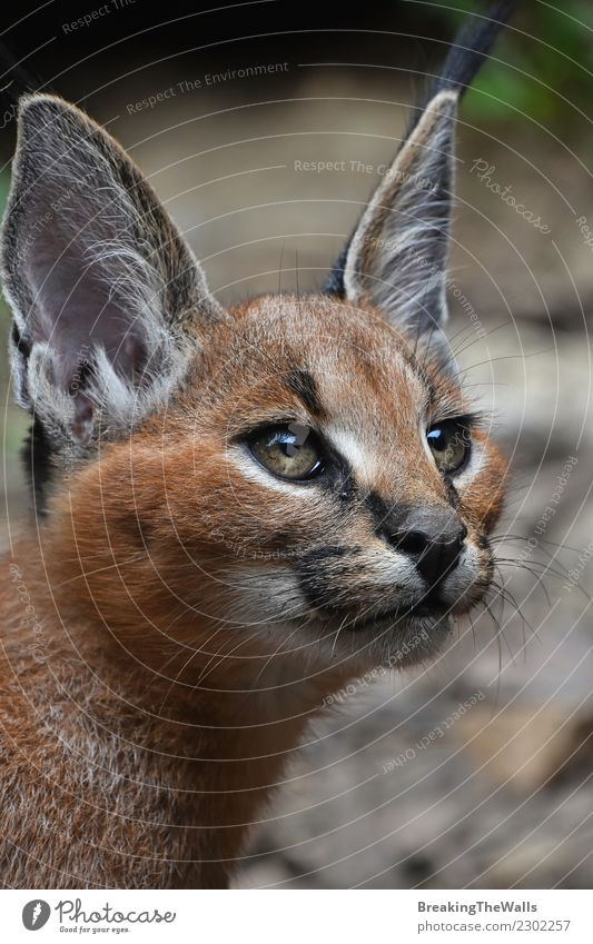 Close up Portrait von Baby Caracal Kätzchen Natur Tier Wildtier Tiergesicht Katze Wildkatze Kopf Auge Ohr 1 beobachten klein Katzenbaby tiefstehend Winkel