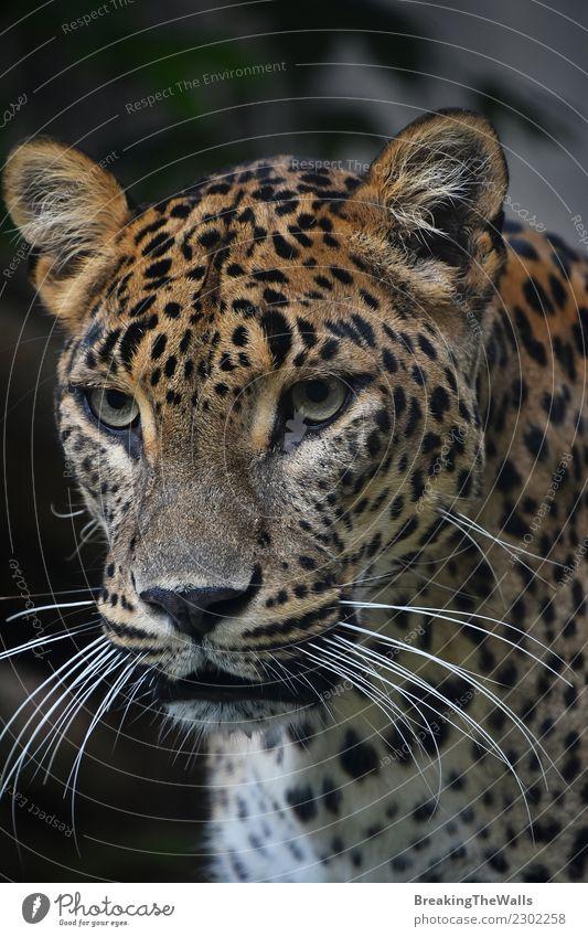 Nahaufnahme Portrait des persischen Leoparden Natur Tier Wildtier Tiergesicht Zoo Persischer Leopard Raubkatze Katze Kopf Auge Schnurrhaar 1 wild Schnauze
