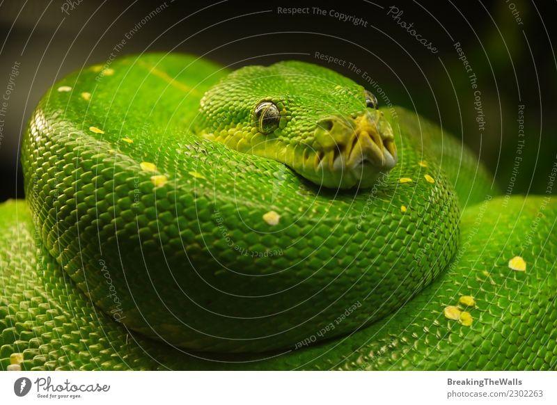 Schließen Sie herauf Porträt der schönen grünen Baumpythonschlange Natur Tier Wildtier Schlange Zoo Python Grüner Baumpython Kopf Auge Reptil 1 Farbe Morelia