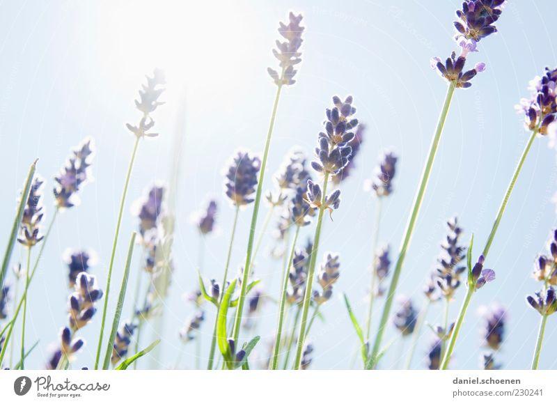 duftendes Gegenlicht Pflanze Himmel Wolkenloser Himmel Sonne Sommer Schönes Wetter blau weiß Lavendel Kräuter & Gewürze Licht Sonnenlicht Sonnenstrahlen