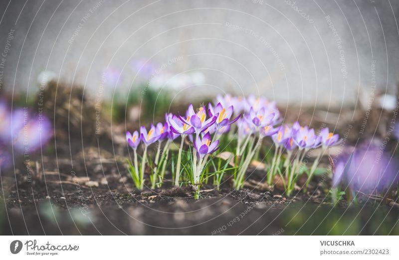Frühlingsgarten mit Krokusse Design Garten Natur Landschaft Pflanze Blume Park Frühlingsbeet Beet Farbfoto Außenaufnahme Nahaufnahme Makroaufnahme