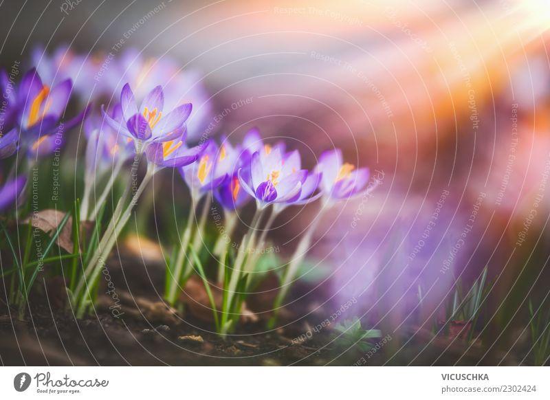 Krokusse in Sonnenstrahl en Design Garten Natur Pflanze Sonnenaufgang Sonnenuntergang Frühling Schönes Wetter Blume Blatt Blüte Park Blühend gelb