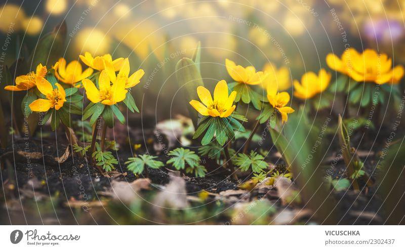 Gelbe Winterling Blumen Design Sommer Garten Natur Pflanze Frühling Blatt Blüte Park Wiese Blühend gelb Winterlinge Nahaufnahme Naturschutzgebiet Naturliebe
