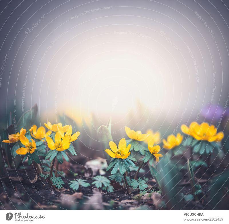 Kleinen gelbe Blumen am nebeligen Morgen Lifestyle Design Sommer Garten Natur Pflanze Frühling Blatt Blüte Park Wald Hintergrundbild Winterlinge Ranunkel wild