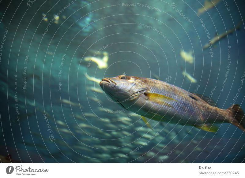 Heißt hier jemand Wanda? Fisch Aquarium Wasser Tier Nutztier Wildtier Schuppen 1 Schwarm glänzend kalt Umwelt Meerestiefe Leben Farbfoto Unterwasseraufnahme