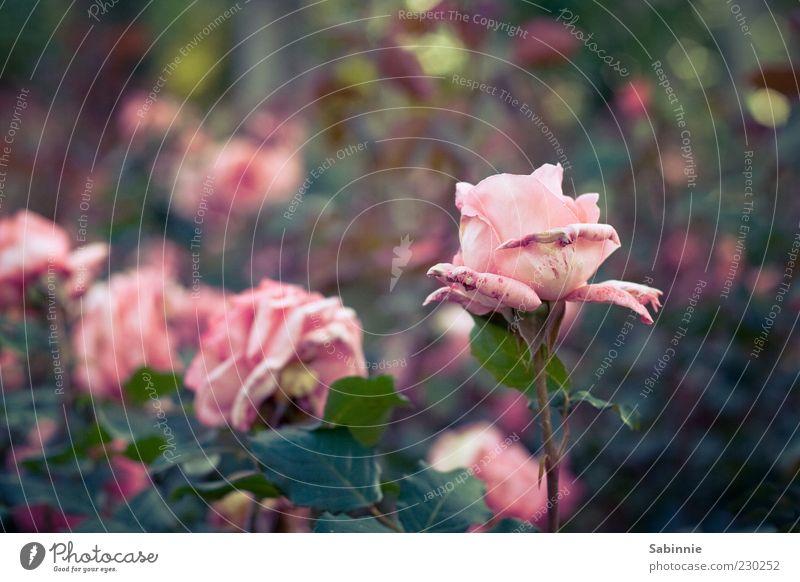 Rosengarten Natur grün Pflanze Blume Blatt Umwelt Blüte Frühling rosa natürlich ästhetisch Blühend verblüht Grünpflanze