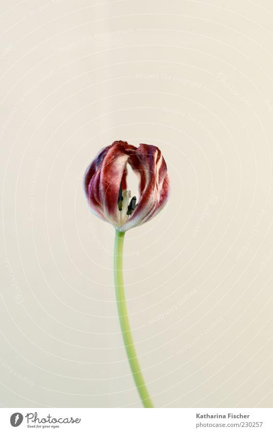 Tulpe Pflanze Blume Duft authentisch elegant hell schön grün rot weiß Blüte Blütenstempel trocken Studioaufnahme Blumenstengel Farbfoto Innenaufnahme