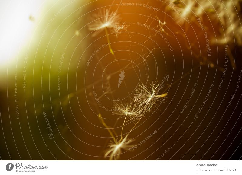 Traumfänger Löwenzahn Samen Spinnennetz Farbfoto mehrfarbig Außenaufnahme Nahaufnahme Detailaufnahme Makroaufnahme Menschenleer Textfreiraum links