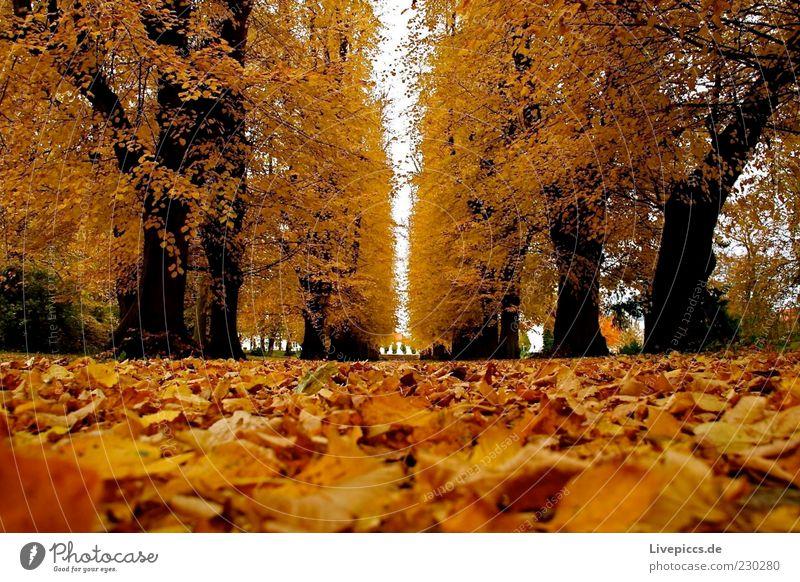 Putbus 09 Umwelt Natur Herbst Schönes Wetter Baum Wald Park mehrfarbig Außenaufnahme Tag Froschperspektive Menschenleer herbstlich Herbstfärbung Herbstlaub