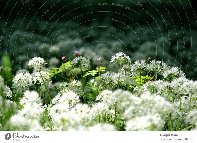 3 kleine lila blumen Natur grün weiß Pflanze Blume Umwelt Frühling Wachstum violett Schönes Wetter Duft