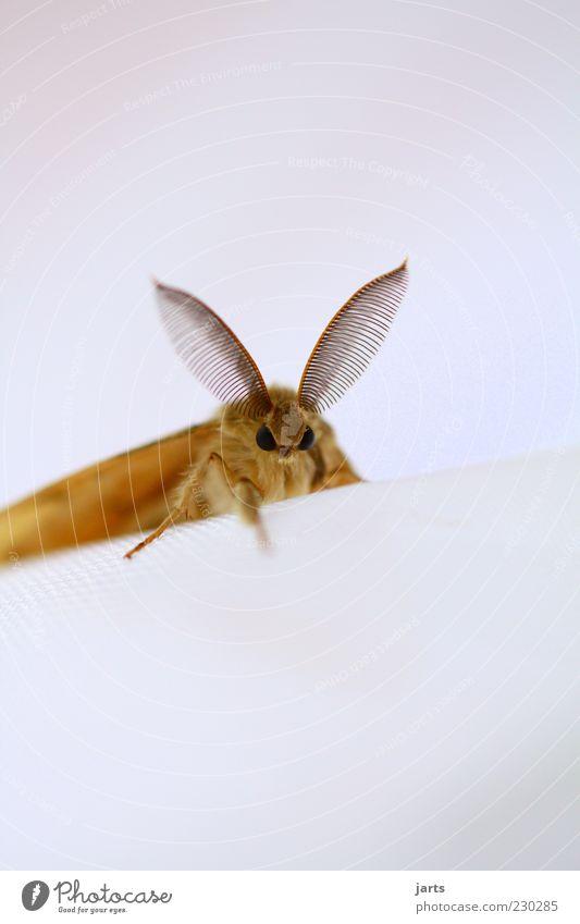kleines schlitzohr Tier Kopf braun sitzen Wildtier außergewöhnlich Ohr hören Sinnesorgane Überwachung Motte Insekt Facettenauge