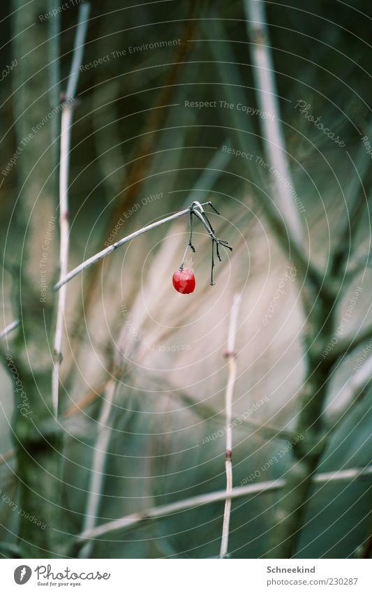 Eine Perle der Natur Natur rot Pflanze Sträucher Zweig Beeren Wildpflanze