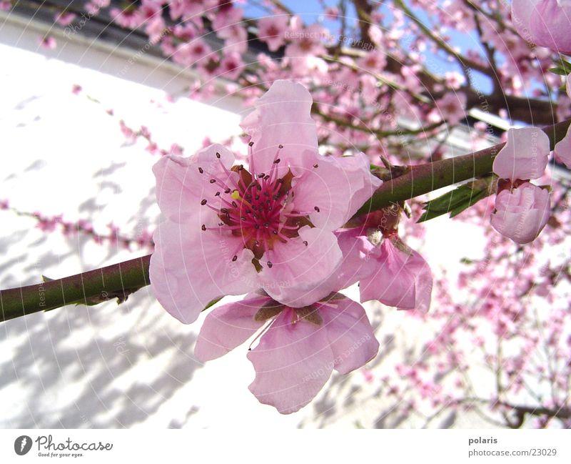rosa blüte Baum Blume Blüte Frühling rosa Pfirsichblüten