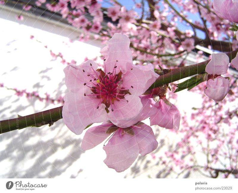 rosa blüte Blume Frühling Pfirsichblüten Baum Blüte Nahaufnahme Detailaufnahme