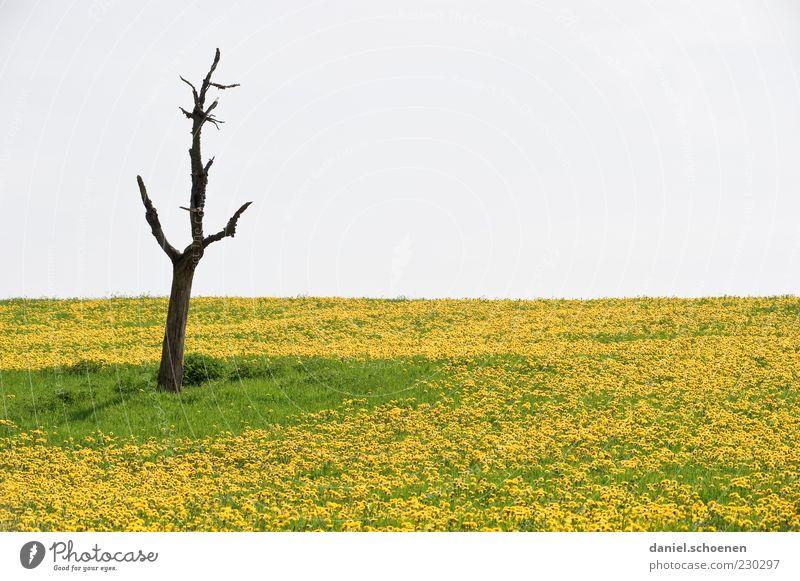 Löwenzähne Umwelt Natur Pflanze Himmel Frühling Klima Baum Blume Gras Wiese gelb grün Leben Tod Löwenzahn Löwenzahnfeld Textfreiraum oben Textfreiraum Mitte