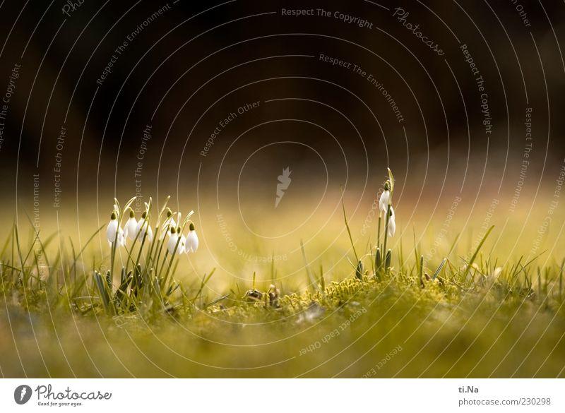 ich hör das Gras wachsen Umwelt Natur Frühling Schönes Wetter Pflanze Schneeglöckchen Blühend Wachstum schön grün schwarz weiß Frühlingsgefühle Farbfoto