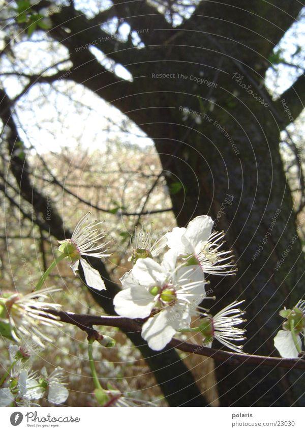 weiße blüte Baum Blume Unschärfe Frühling