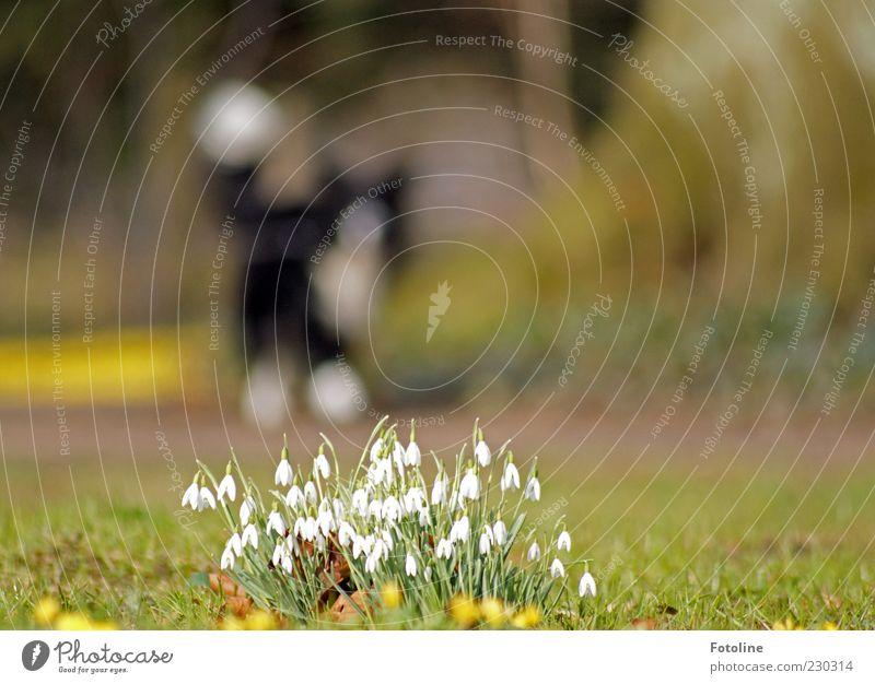 Frühlingsspaziergang Umwelt Natur Pflanze Tier Urelemente Erde Blume Gras Blatt Blüte Park Haustier Hund 1 Duft hell natürlich Schneeglöckchen Frühblüher laufen