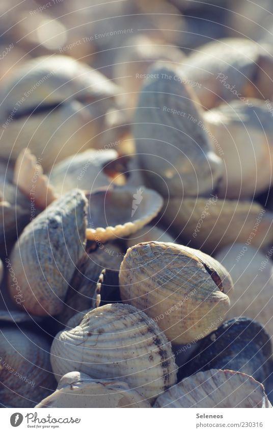 Herzmuscheln Umwelt Natur Sommer Tier klein Muschel Muschelschale Salzwassermuschel Farbfoto Außenaufnahme Menschenleer Textfreiraum oben Tag Licht Schatten