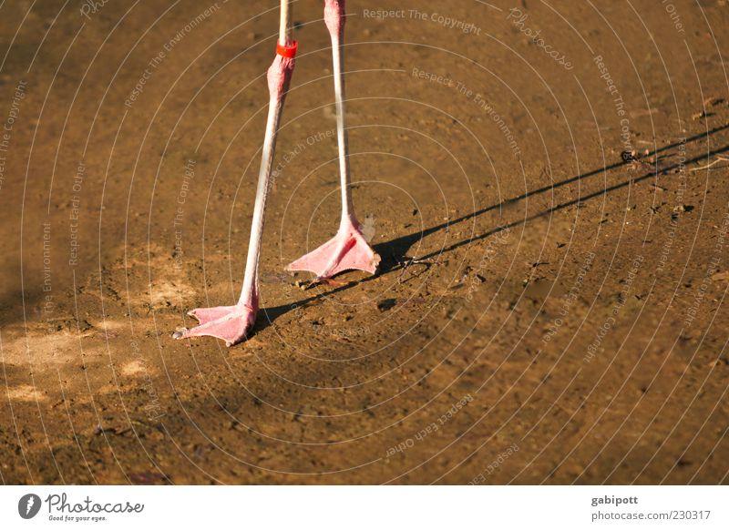 Stelzenlauf Tier Beine braun rosa gehen laufen Tierfuß Wildtier dünn Zoo Gleichgewicht fein Fährte Flamingo Schwimmhaut wackelig