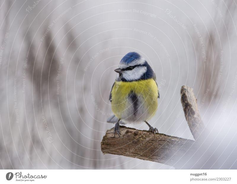 Blaumeise Natur blau weiß Baum Tier Winter Wald schwarz gelb Umwelt Herbst Frühling Schnee Garten Vogel braun