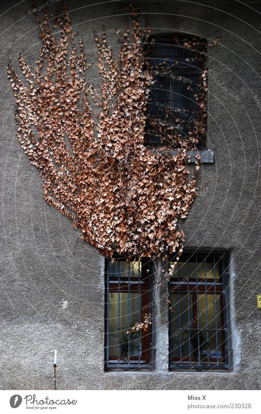 Blätterbrand Herbst Efeu Blatt Haus Mauer Wand Fassade Fenster alt trist Farbfoto Gedeckte Farben Außenaufnahme Muster Menschenleer vertrocknet Wachstum