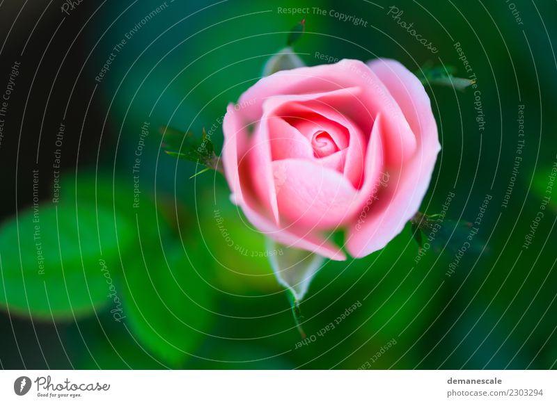 Rosette Valentinstag Hochzeit Umwelt Natur Landschaft Pflanze Tier Sommer Schönes Wetter Blume Blatt Blüte Garten Park Wiese authentisch Duft grün rosa weiß