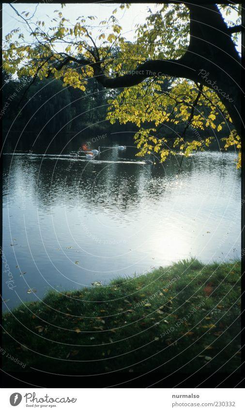 Parkidyll Umwelt Natur Landschaft Pflanze Tier Wasser Herbst Schönes Wetter Baum Flussufer Tierfamilie Schwan glänzend leuchten Stimmung Farbfoto Morgen