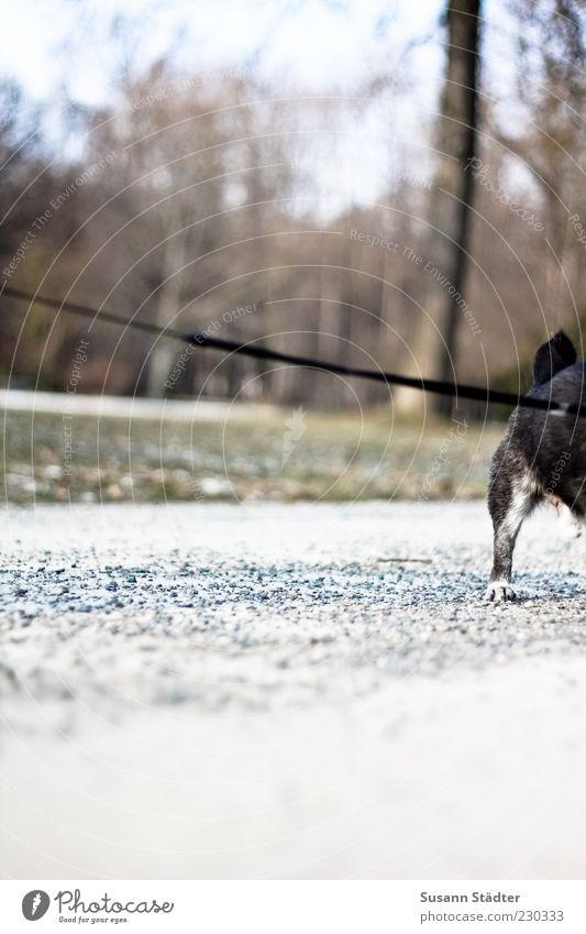 widerstehen statt zu gehen Tier Haustier Fell Pfote 1 Müdigkeit Angst Trägheit trotzig standhaft Hund alt Hundeleine Kieselsteine Park Wege & Pfade gegen