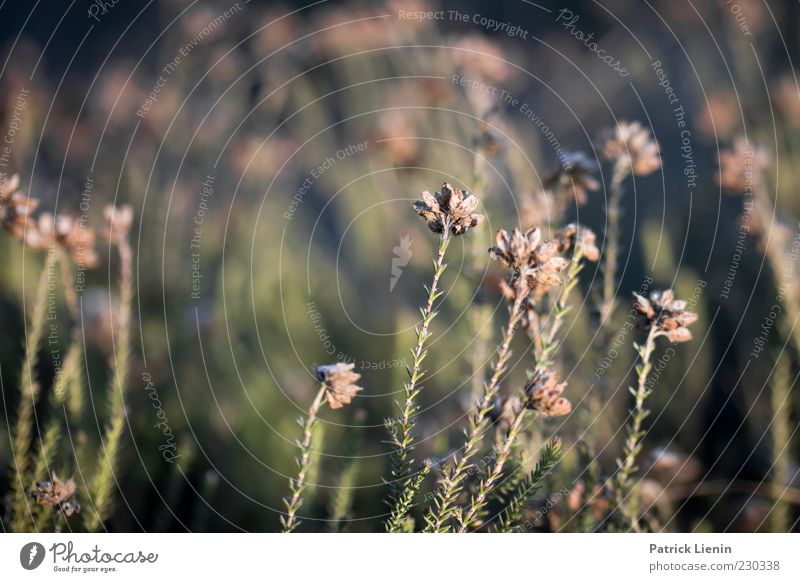 neugierig Umwelt Natur Pflanze Frühling Sträucher Wildpflanze Wiese schön Heide Heidekrautgewächse Wachstum Unschärfe Farbfoto Gedeckte Farben Außenaufnahme