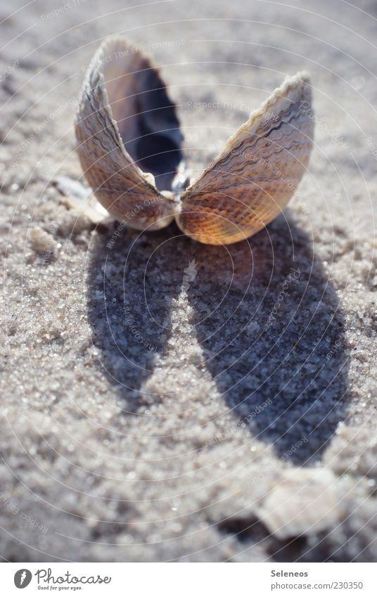 Strandstimmung Umwelt Natur Sommer Tier Muschel klein Muschelschale Herzmuschel Farbfoto Außenaufnahme Textfreiraum unten Tag Licht Schatten Sonnenlicht