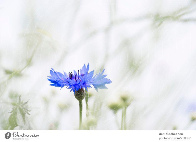 eine Kornblume ! Natur blau weiß Pflanze Sommer Blume Umwelt grau Frühling hell Blütenblatt Makroaufnahme