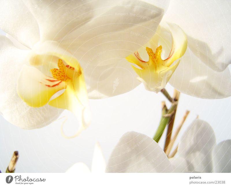 orchidee Orchidee Blume nah schön weiß