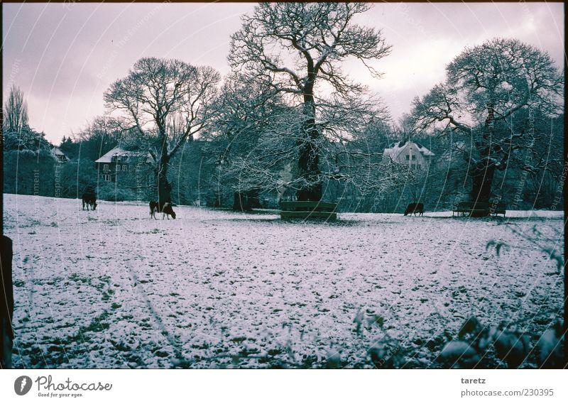Die Kühe kommen in die Stadt alt Baum Winter Wolken Tier kalt dunkel Schnee Eis Frost Weide Kuh frieren Fressen schlechtes Wetter Ausdauer