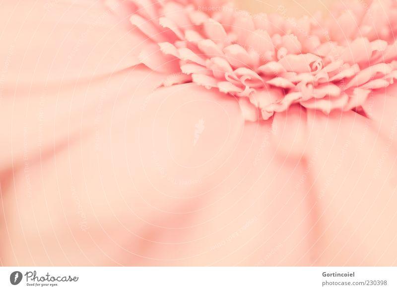 G. Erbera Pflanze Frühling Blume Blüte Kitsch schön rosa Gerbera Blütenblatt Farbfoto Gedeckte Farben Nahaufnahme Detailaufnahme Makroaufnahme