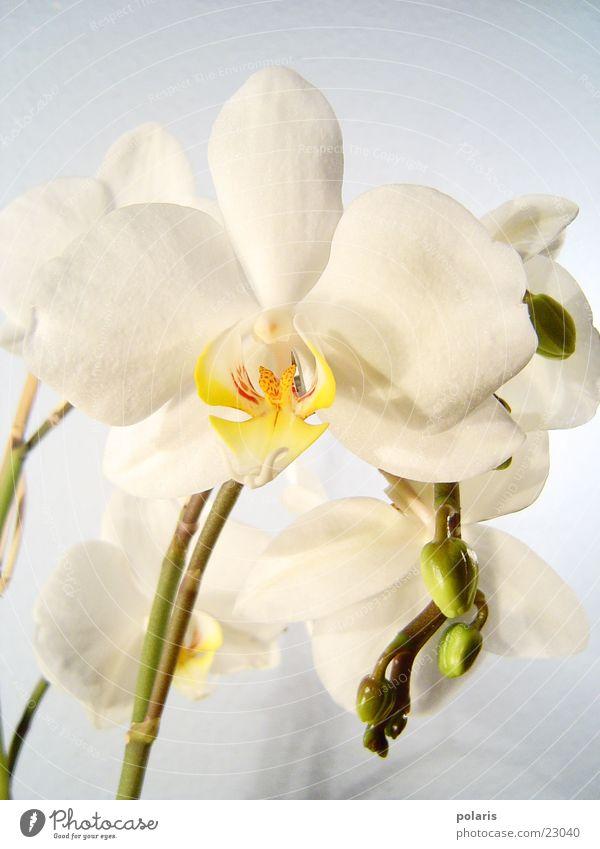 orchidee schön weiß Blume nah Orchidee