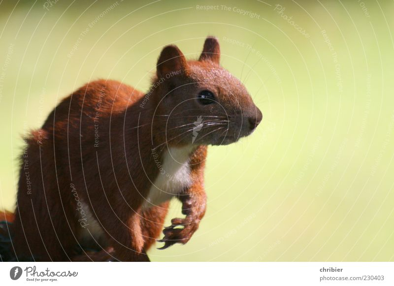 A Hörnchen ! Natur ruhig Tier Auge Leben Umwelt Park sitzen Wildtier niedlich Ohr beobachten Neugier Tiergesicht Fell Wachsamkeit
