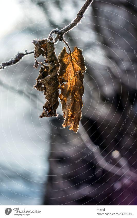 Zukunftsmusik | gemeinsam alt werden Pflanze Blatt Winter kalt Zusammensein Eis paarweise Vergänglichkeit Frost Verfall Ende hängen