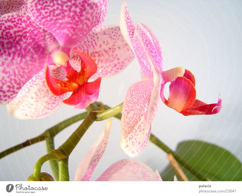 orchidee Orchidee rosa violett Blume nah schön