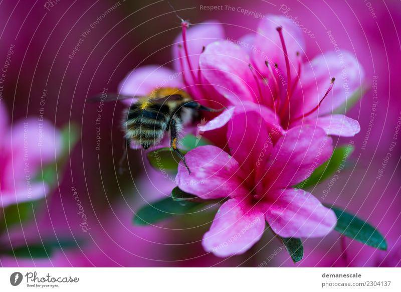 Bumblebee Natur Pflanze grün weiß Blume Tier Blatt schwarz gelb Umwelt Gesundheit Blüte Bewegung Glück Garten Freiheit