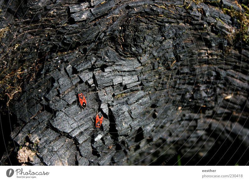 Gemeinsam stark Natur Pflanze Tier Käfer Tierpaar Holz beobachten entdecken krabbeln dehydrieren ästhetisch schön trist trocken rot schwarz Stimmung Tapferkeit
