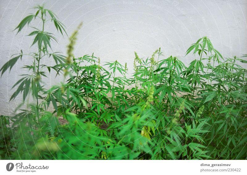 grün Pflanze Rauchen Lächeln genießen Rauschmittel tragen Morgen Hanf