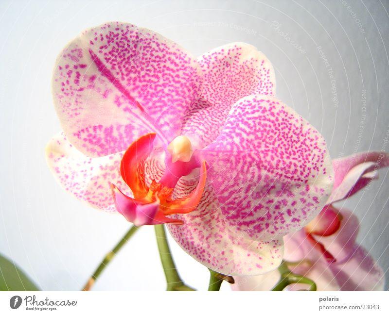orchidee schön Blume rosa nah violett Orchidee